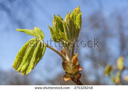 Chestnut Bud Stock Photos, Royalty.