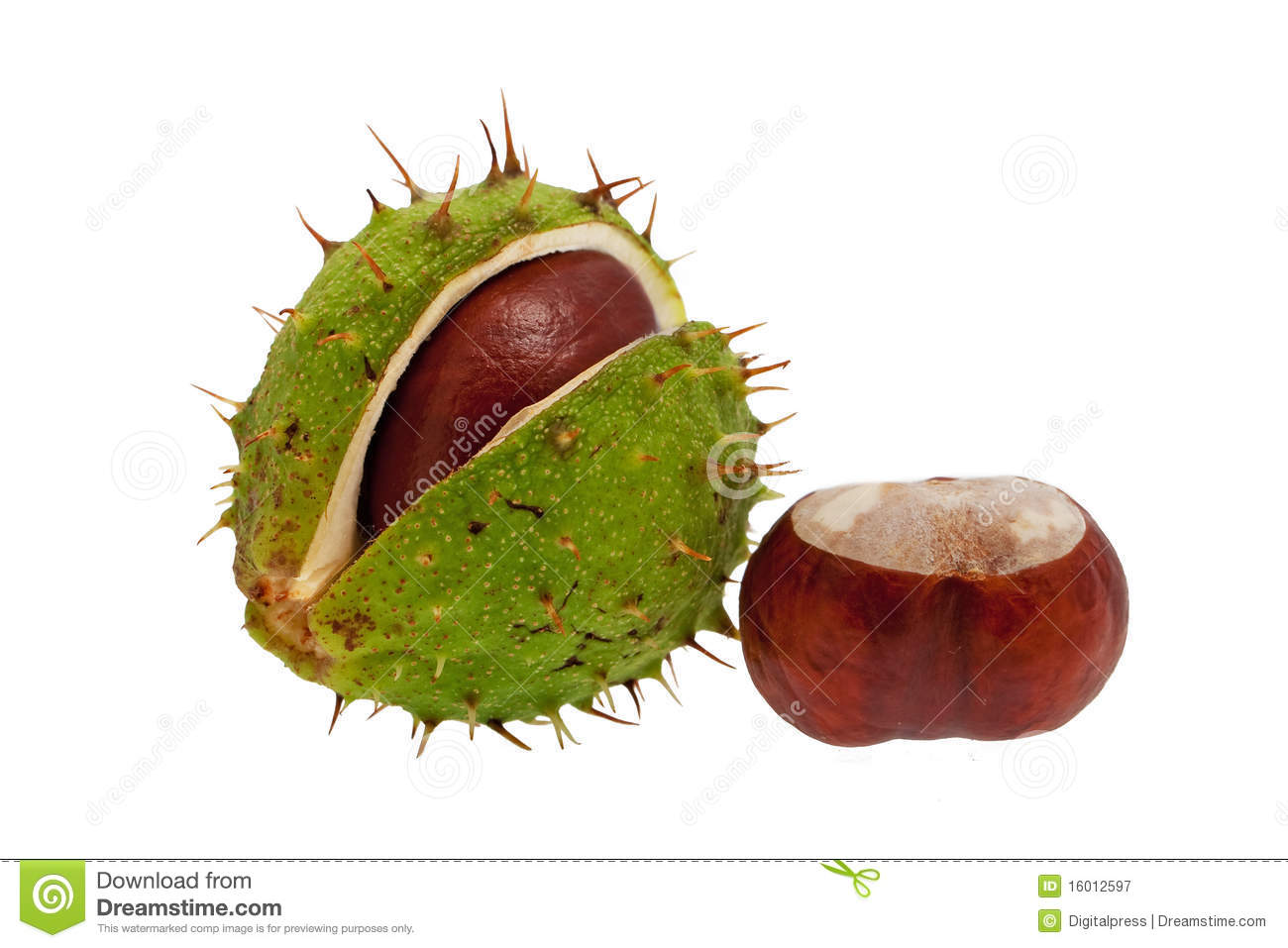 Green Spiky Chestnut Stock Photos, Images, & Pictures.