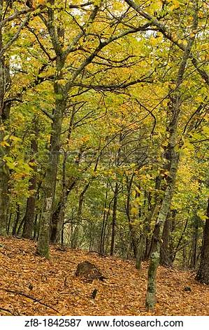 Picture of Chestnut forest at Lous? Mountain, Portugal zf8.