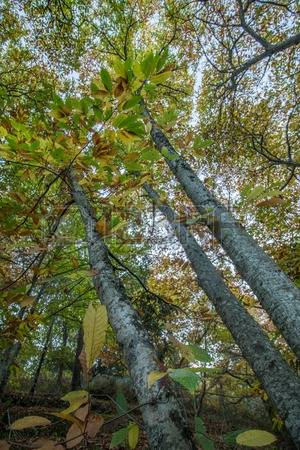 Forest Of Chestnut Trees Stock Photos, Pictures, Royalty Free.