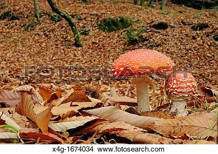 Stock Photo of Fly agaric Amanita muscaria in Chestnut forest.