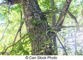 Pictures of Castanea, old and ancient chestnut forest in the.