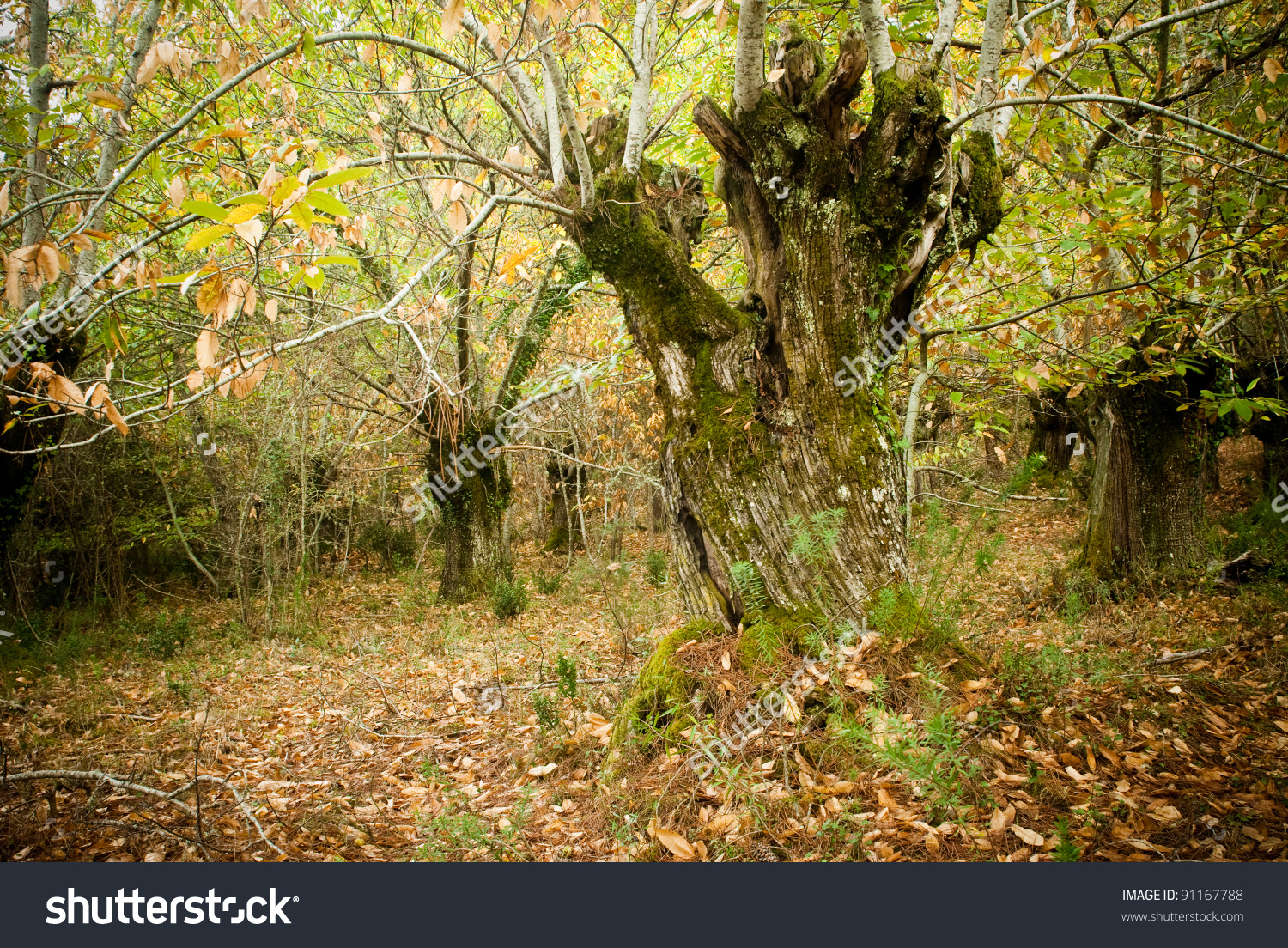 Chestnut Forest In Galicia, Spain Stock Photo 91167788 : Shutterstock.