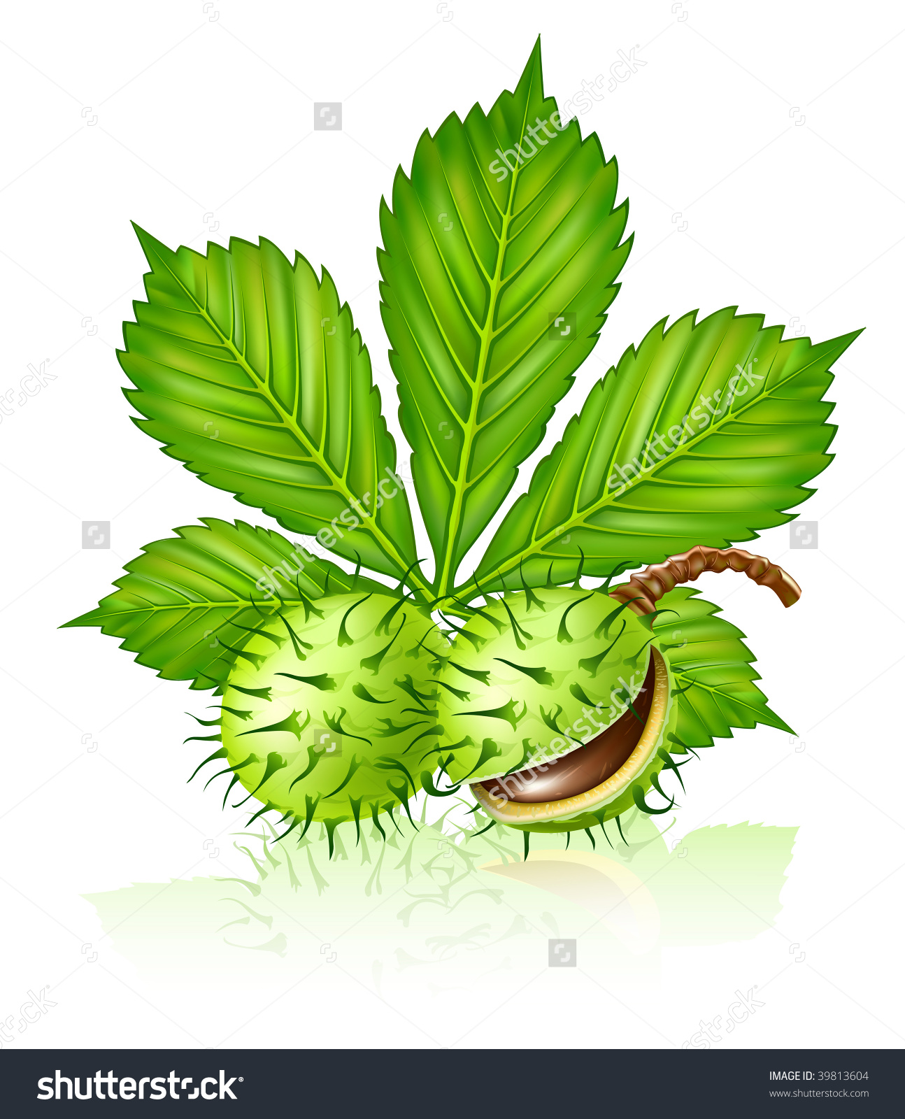 Chestnut Seed Fruits With Green Leaf Isolated On White Vector.