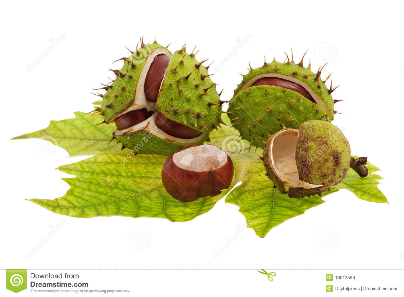 Spiky Chestnut Fruit Stock Photos, Images, & Pictures.