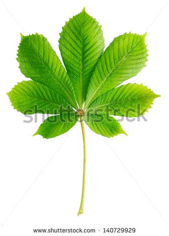 Chestnut Leaf Stock Photos, Royalty.