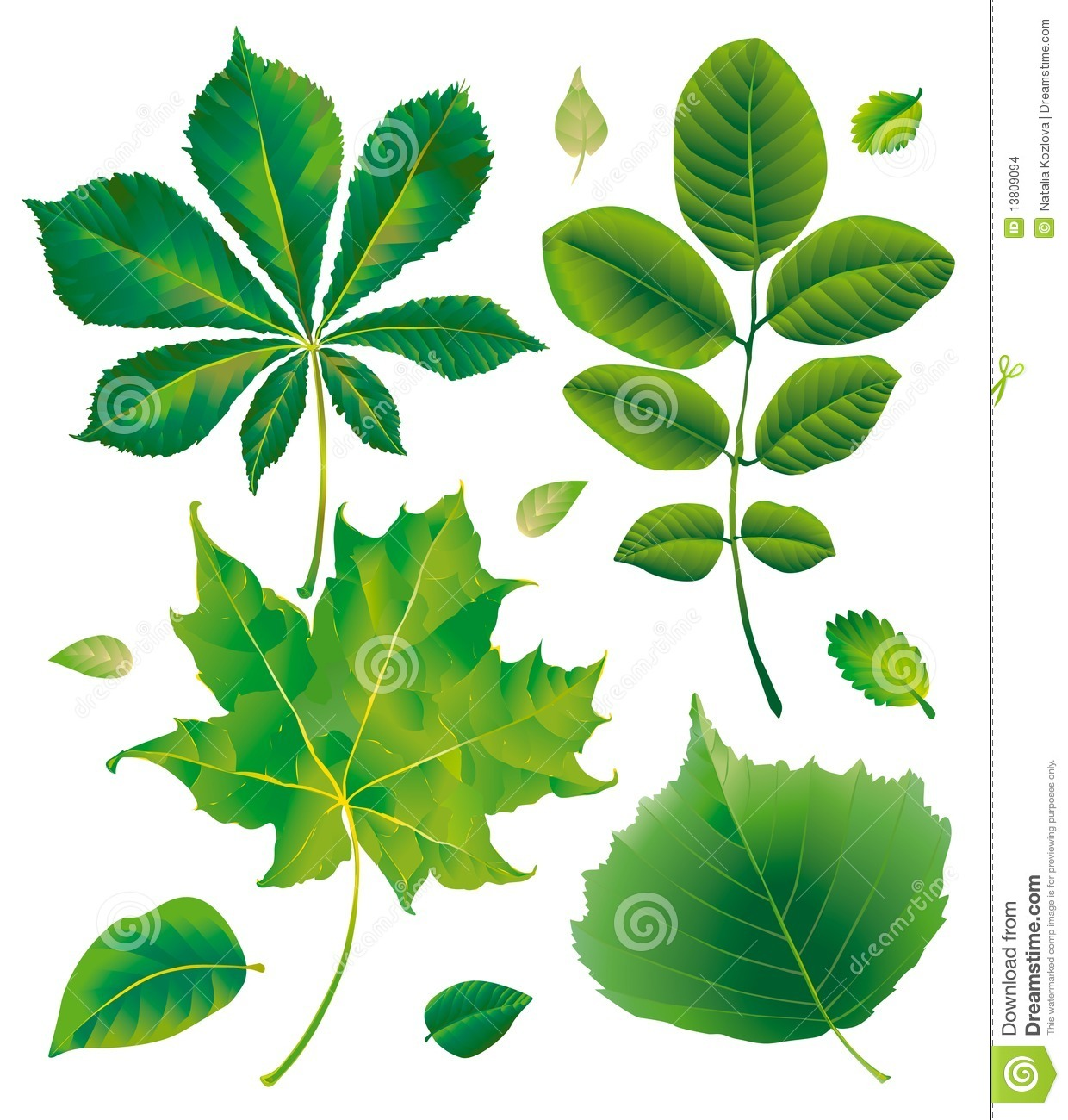 Leaf Chestnut Maple Walnut Hazelnut Stock Images.