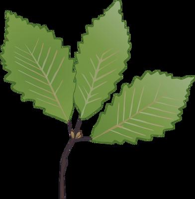 Quercus montana (Chestnut Oak) leaves.