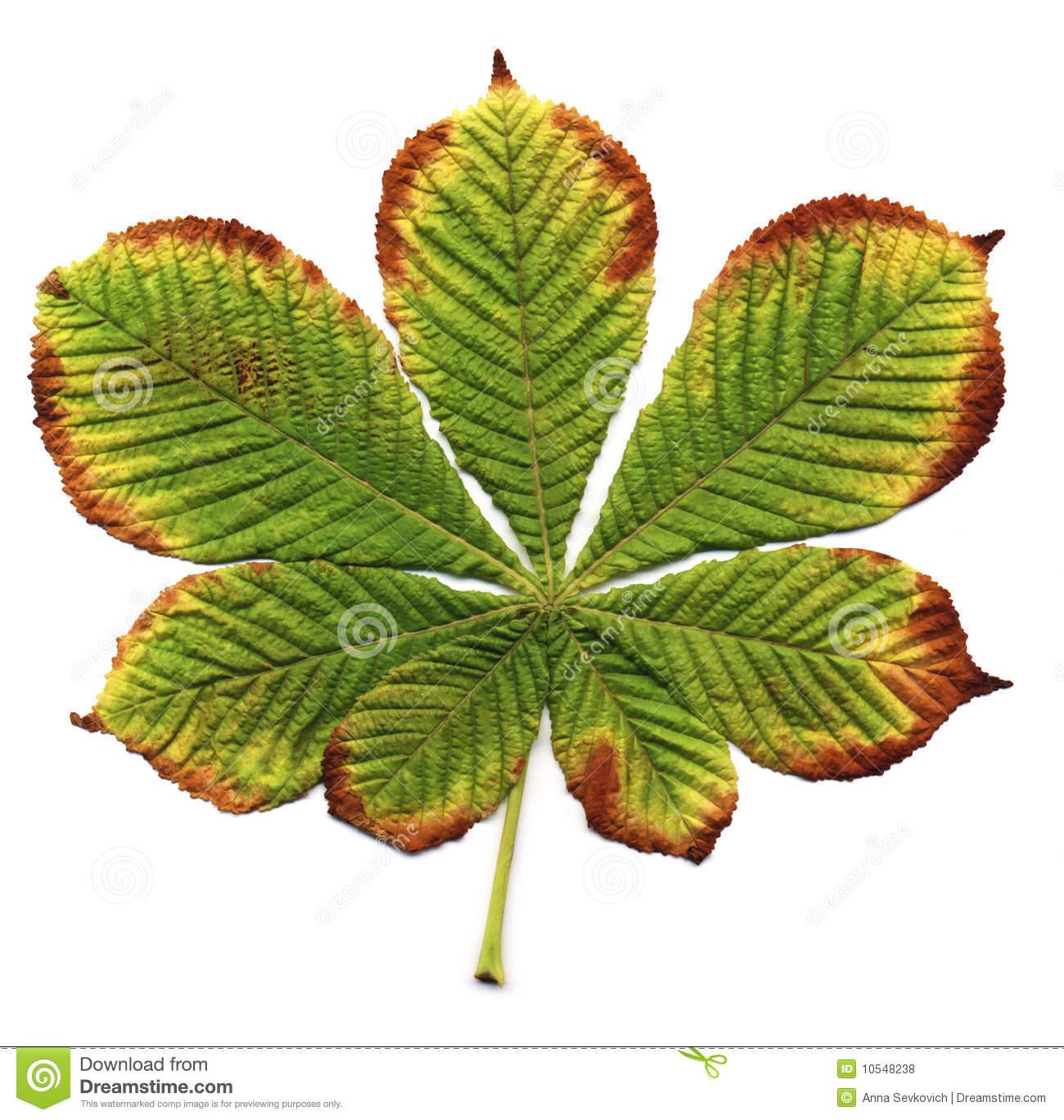 Chestnut Leaf Royalty Free Stock Photos.