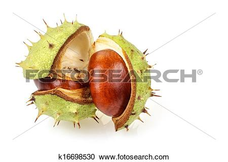 Stock Photography of Horse chestnut in opened natural shell.