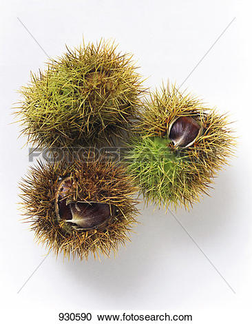 Stock Photography of Three sweet chestnuts in their prickly shells.