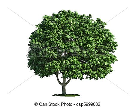 Stock Photo of isolated tree on white, horse chestnut (salix.