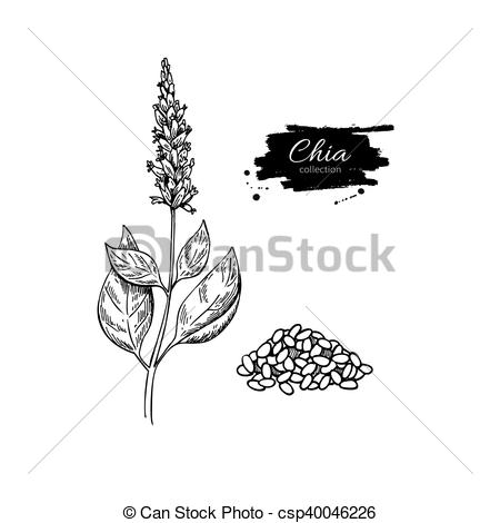 Vector Illustration of Chia plant and seeds vector superfood.