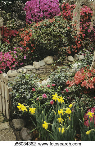 Stock Photo of GARDENS: Azaleas in full bloom at the Chicago.