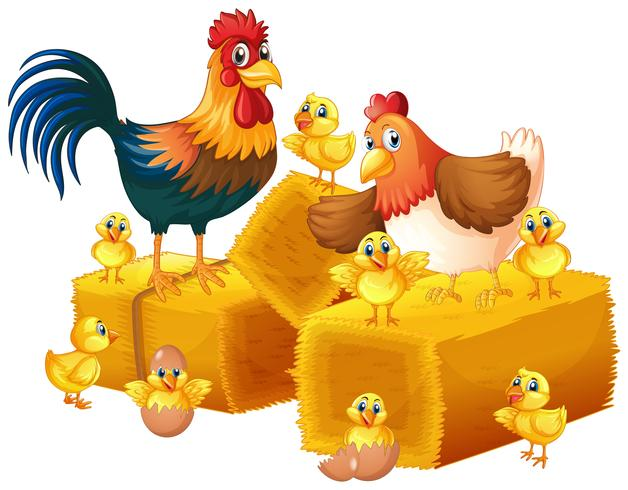 Chicken family on white background.