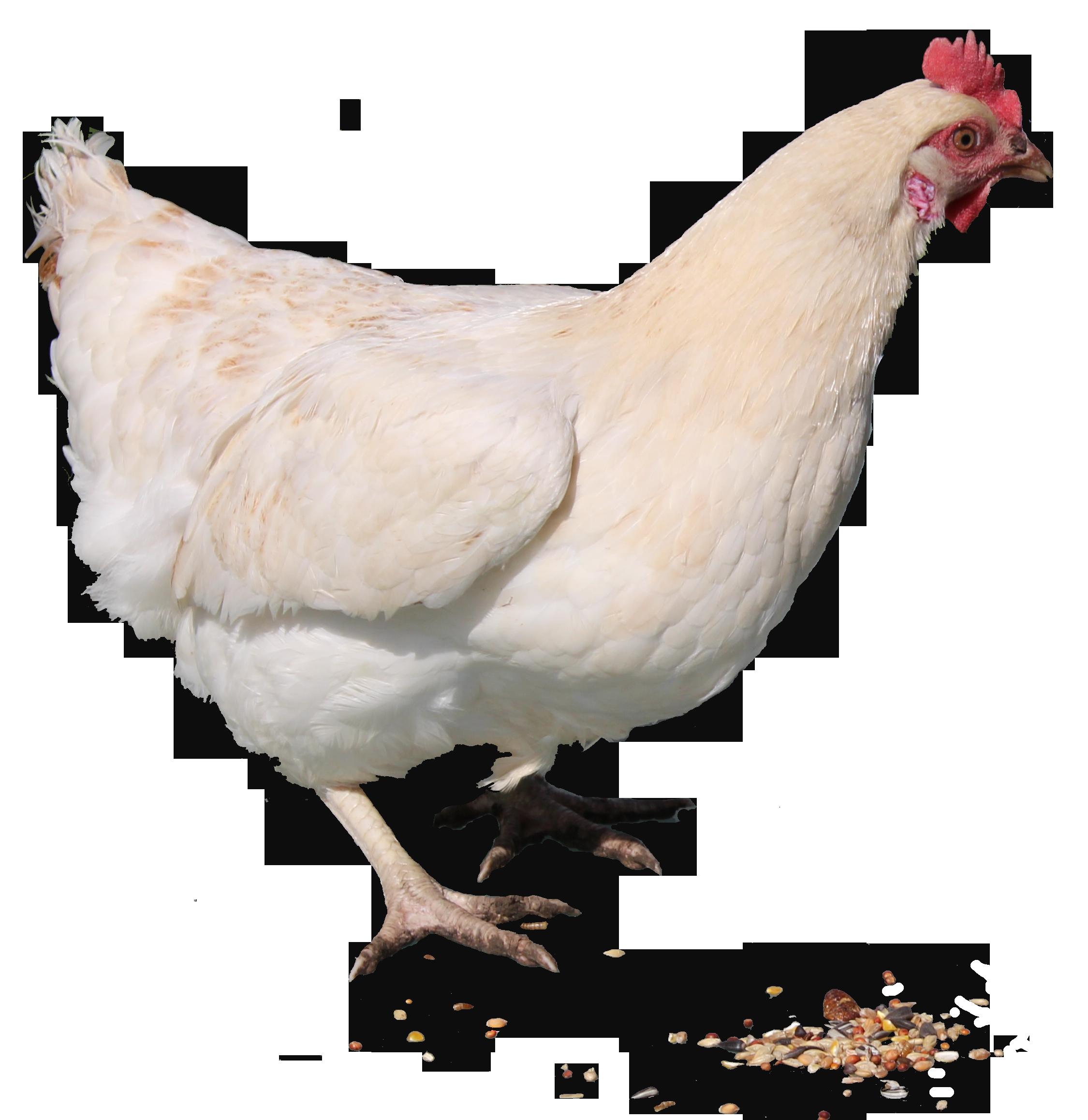 Chicken PNG Transparent Images.