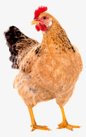 Chicken PNG, Free HD Chicken Transparent Image , Page 12.