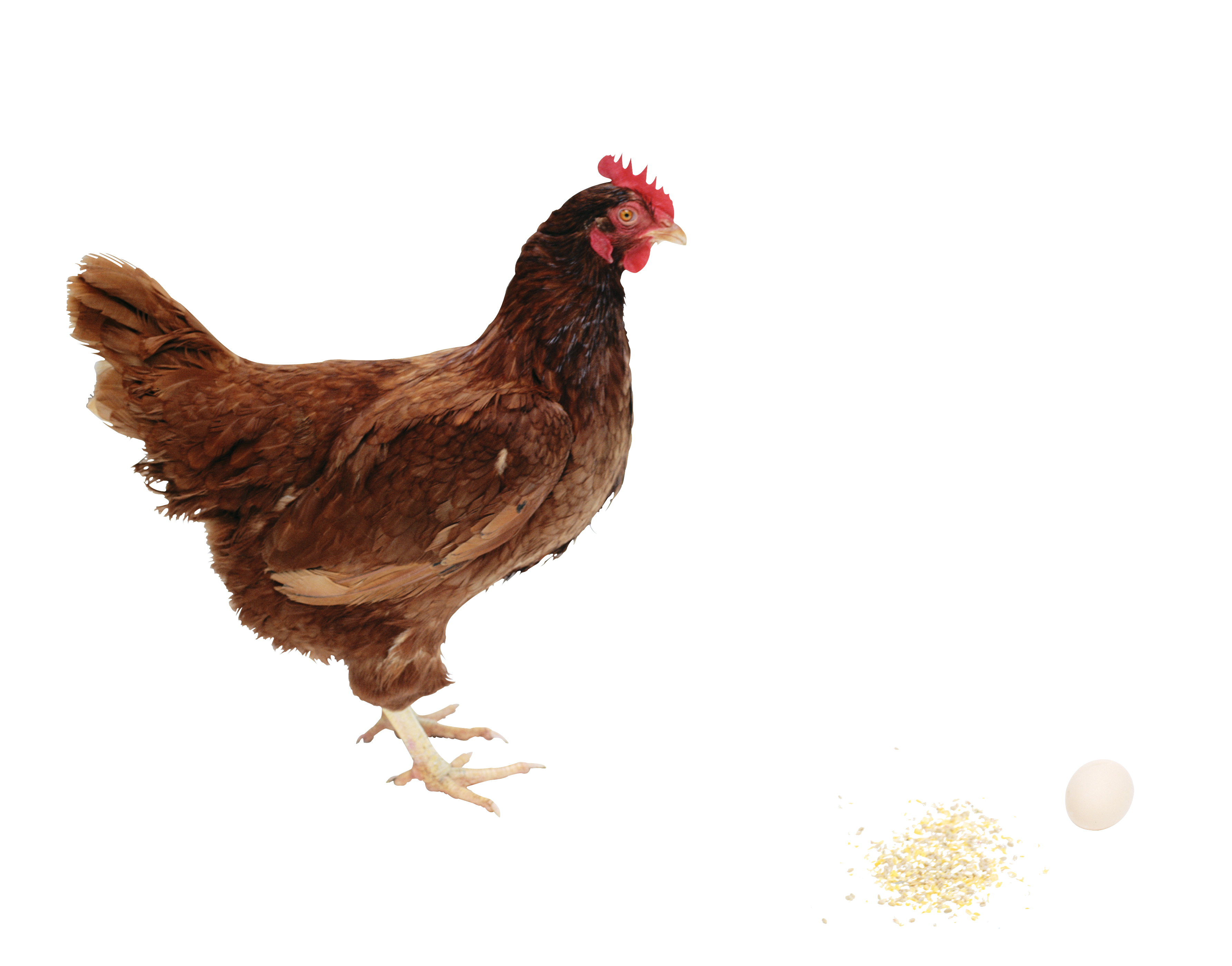 Chicken PNG images, free chicken picture download.