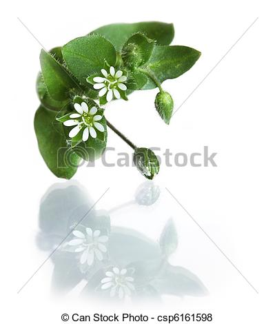 Pictures of Common Chickweed Stellaria media Five double petals.