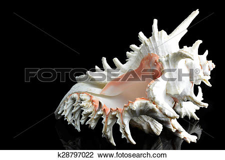 Stock Photo of Seashell Chicoreus ramosus k28797022.