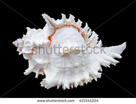 """murex Shell"" Stock Photos, Royalty."