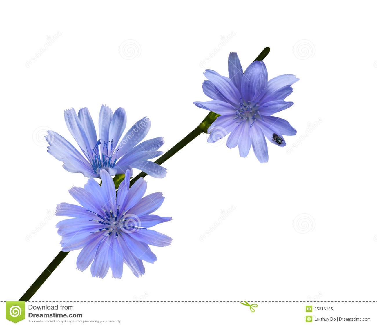 Chicory Wildflower Royalty Free Stock Photo.