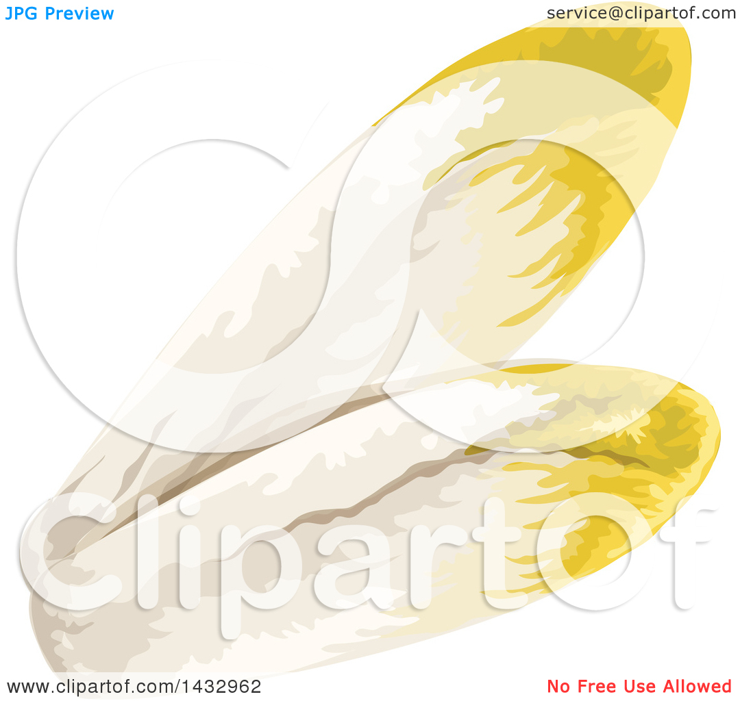Clipart of Chicory Endive.