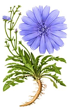 Chicory clipart.