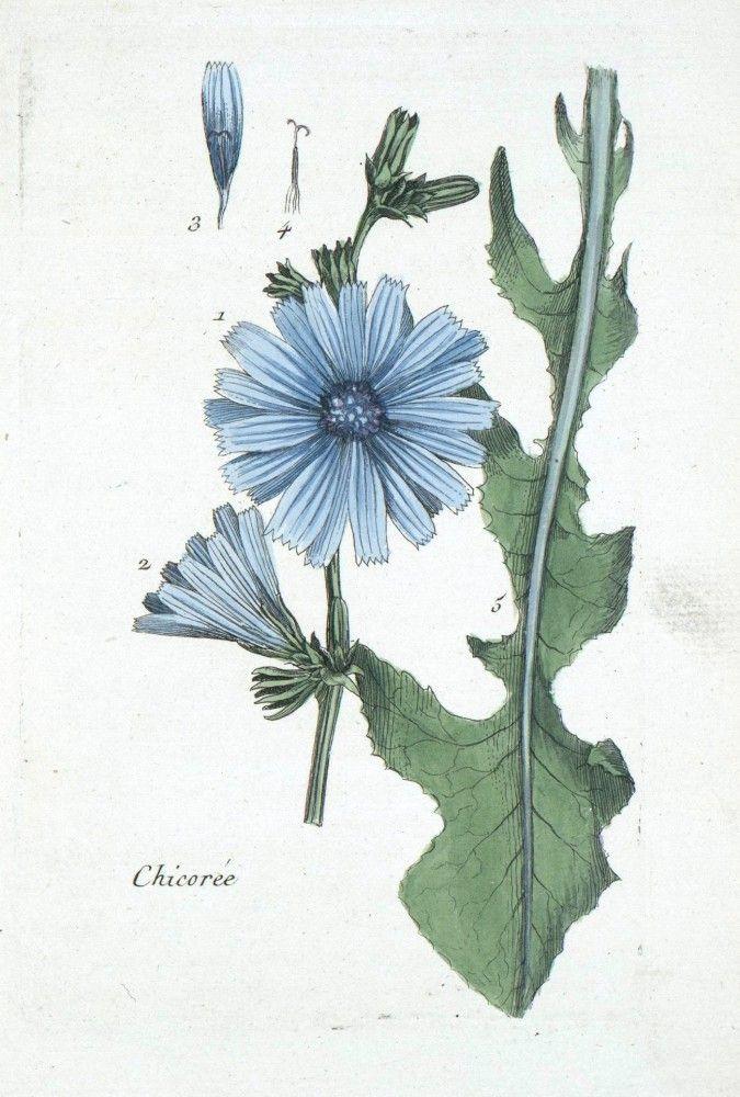 Botanical Drawing of Chicory.