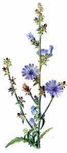 Free Chicory Clipart.
