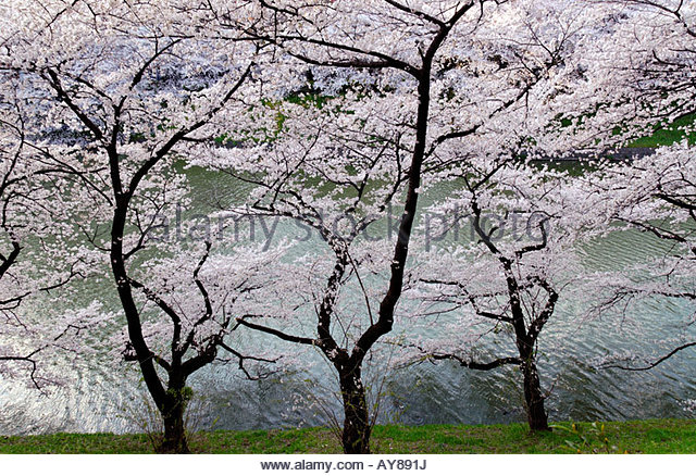 Japan Cherry Blossom Stock Photos & Japan Cherry Blossom Stock.