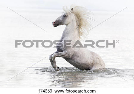 Stock Photograph of Alter Real. Gray stallion Hexano rearing in.