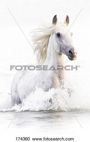 Stock Photography of Alter Real. Gray stallion Hexano walking in.