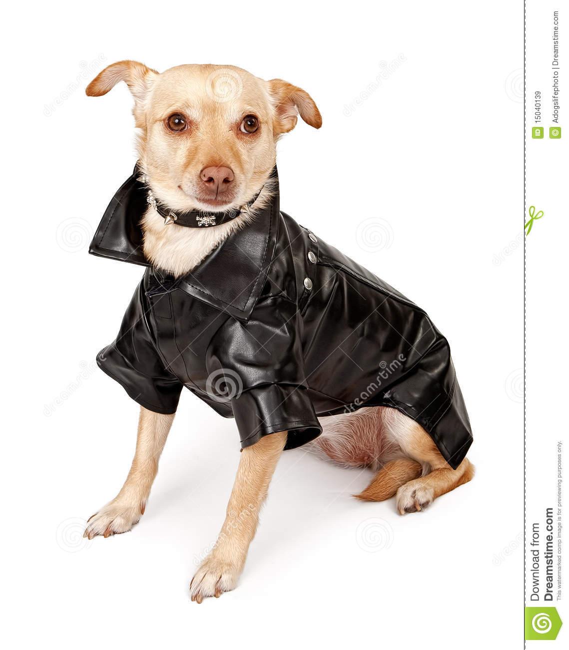 Chihuahua Mix Dog Wearing Black Leather Jacket Royalty Free Stock.