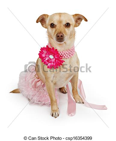 Stock Photographs of Chihuahua mix dog wearing a pink tutu and.