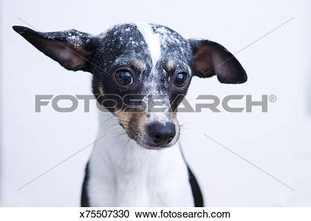 Stock Photography of Chihuahua mix covered in flour x75507330.