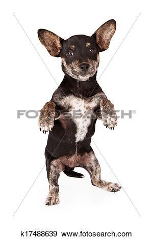 Stock Photograph of Chihuahua Dachshund Mix Begging k17488639.