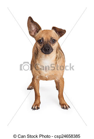 Pictures of Adorable Chihuahua Mix Breed Dog Standing.
