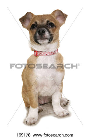 Pictures of Chihuahua.