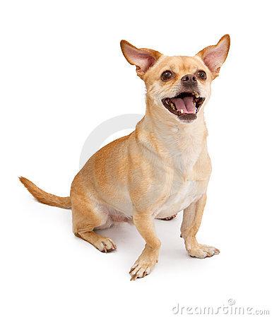 Happy Chihuahua And Pug Mix Dog Smiling Royalty Free Stock Photos.
