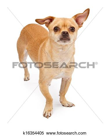 Stock Image of Chihuahua and Pug Mix Dog k16354405.