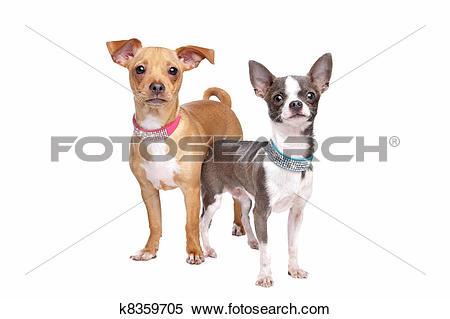 Stock Image of chihuahua and a mix miniature pincher k8359705.