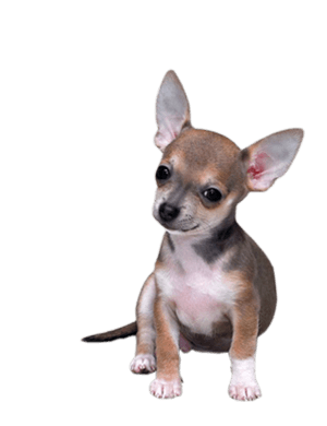 Chihuahua Small transparent PNG.