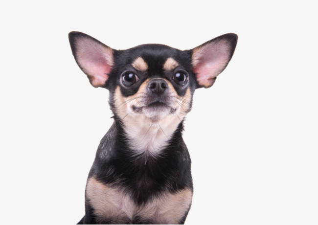 Chihuahua Png & Free Chihuahua.png Transparent Images #10094.
