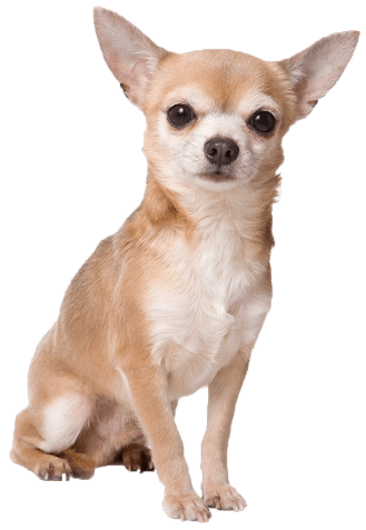 Chihuahua Sitting transparent PNG.