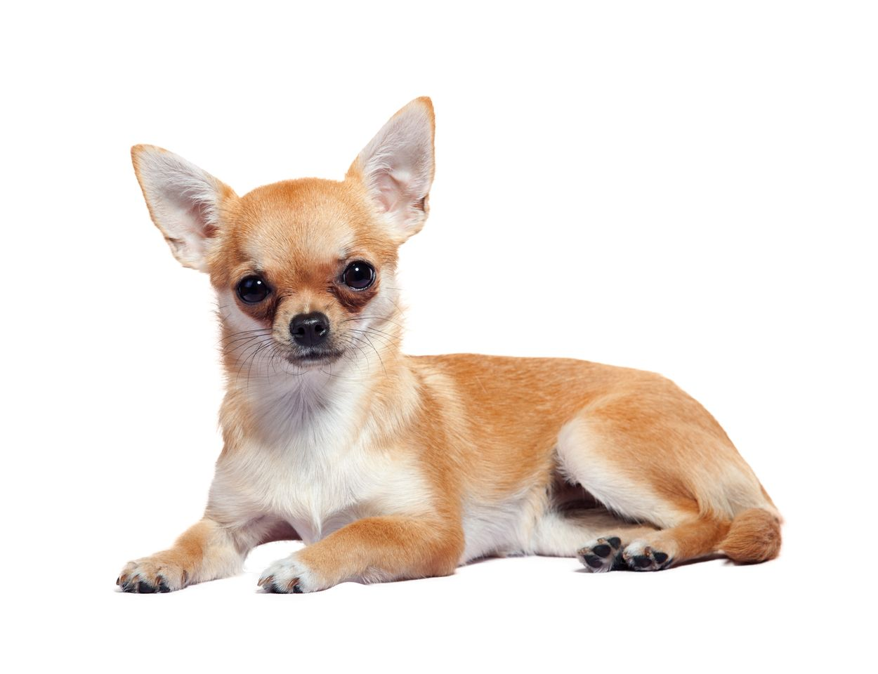 Chihuahua PNG HD Transparent Chihuahua HD.PNG Images..