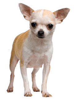 Chihuahua Face Dog transparent PNG.