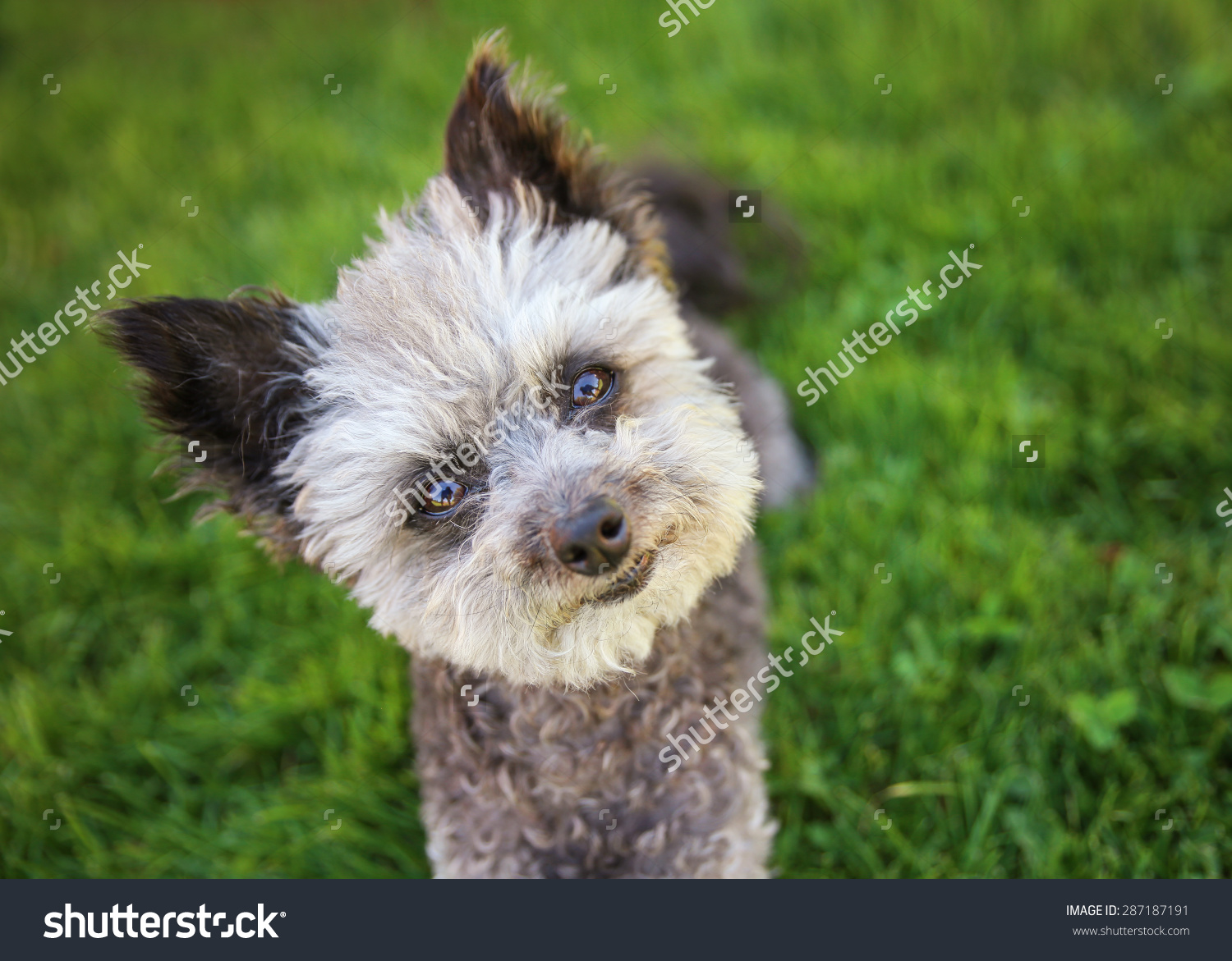 Cute Poodle Chihuahua Mix Senior Female Stock Photo 287187191.
