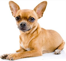 Free Chihuahua Clipart.