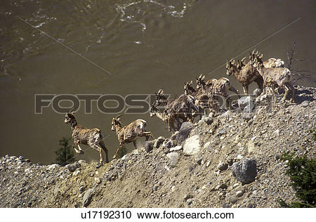Stock Photography of California Big horn sheep above the Fraser.
